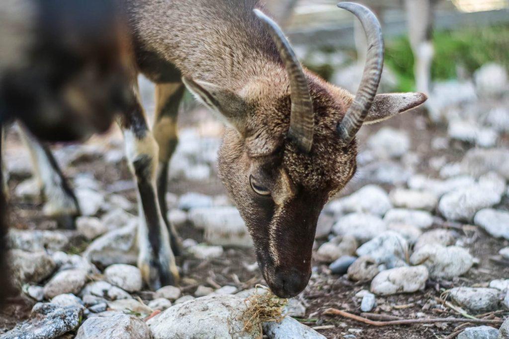 Kipos Park Municipal Garden of Chania Crete Gretan Goat Kri Kri - allincrete.com